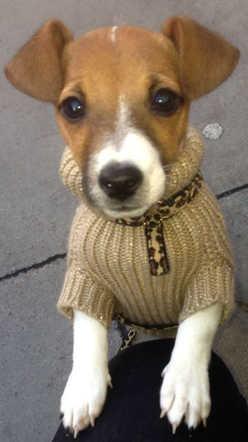 Why I Love Jack Russells Petspyjamas Jack Russell Jack Russell Terrier Terrier
