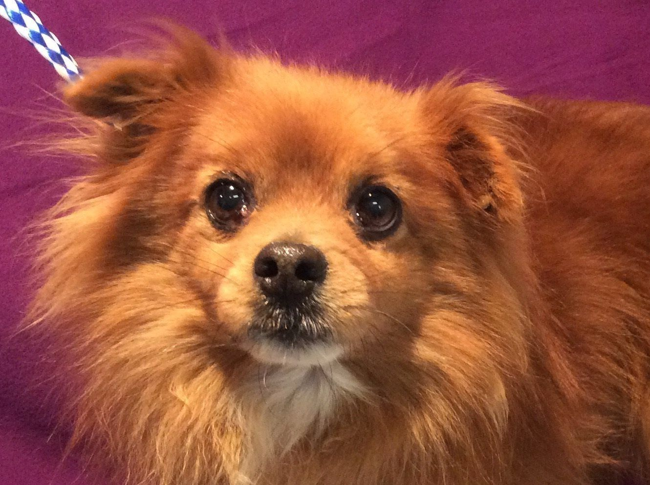 Pomeranian Dog For Adoption In Pomona Ca Adn 504345 On Puppyfinder Com Gender Male Age Dog Adoption Pomeranian Dog Dogs