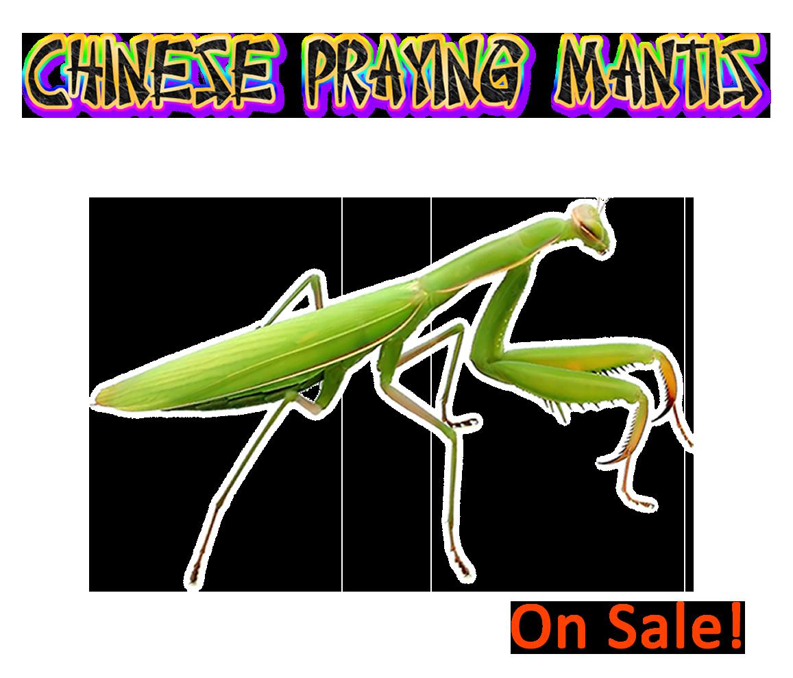 Chinese Praying Mantis L 6 To L7 Pray Praying Mantis Healthy Chinese