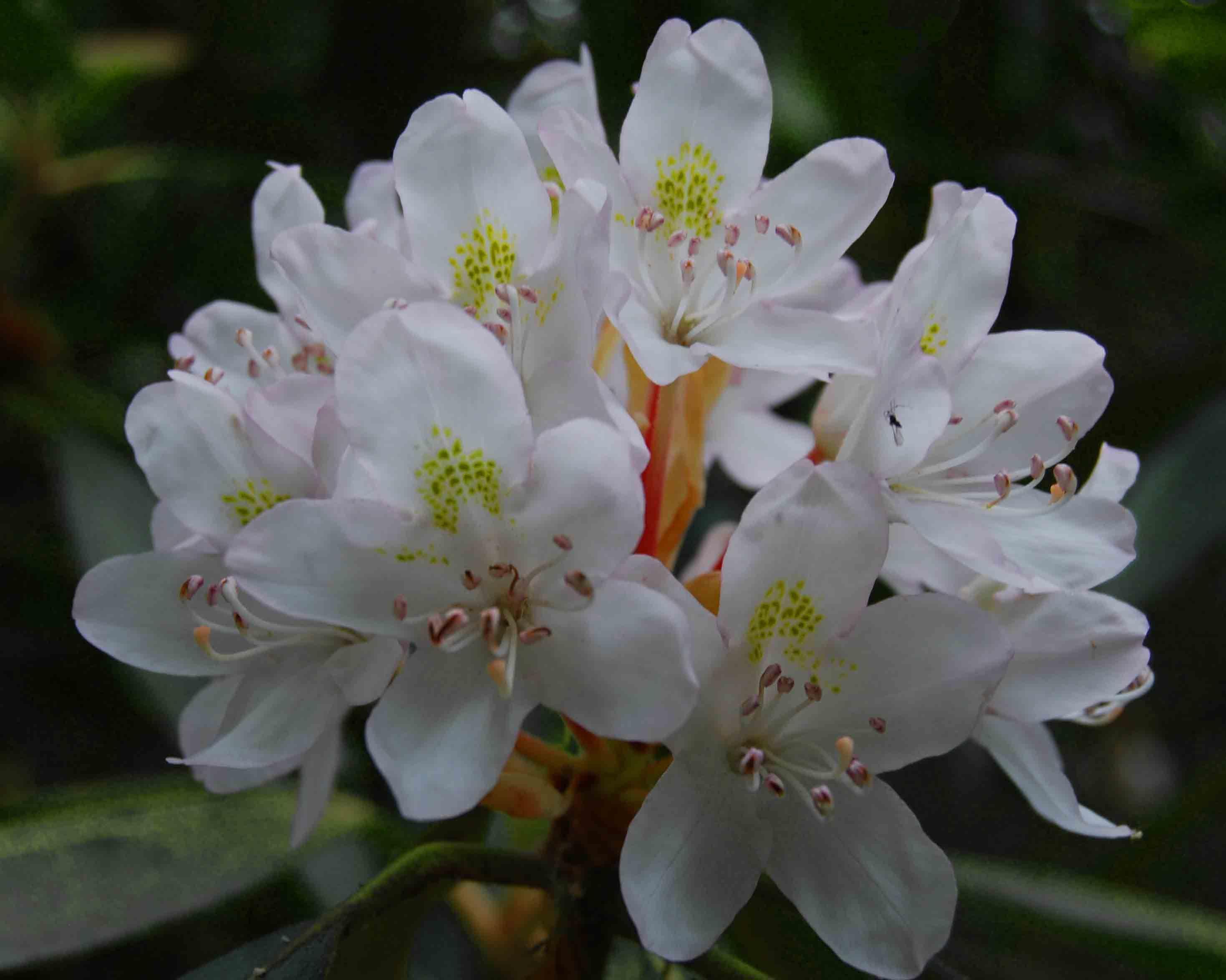whiterhododendron Rhododendron, Flowers, Azaleas