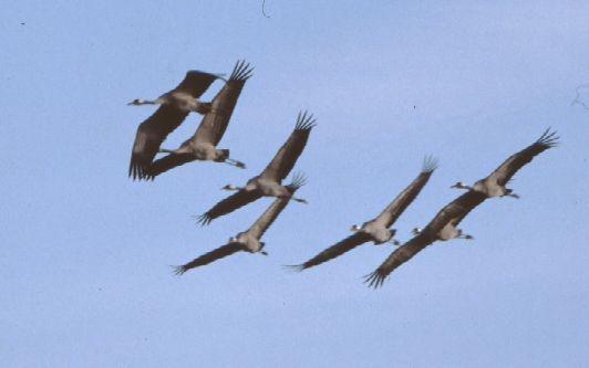 Spagna-Extremadura-La gru due metri e mezzo di ali per attraversare l'Europa .