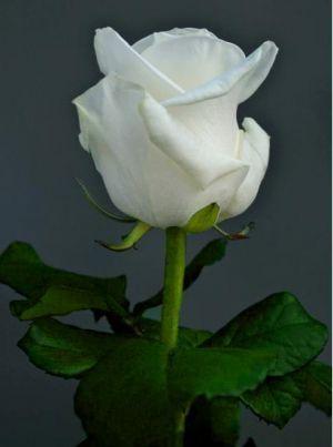 rose blanche fleur - google-søk | růže bílé a růžové | pinterest