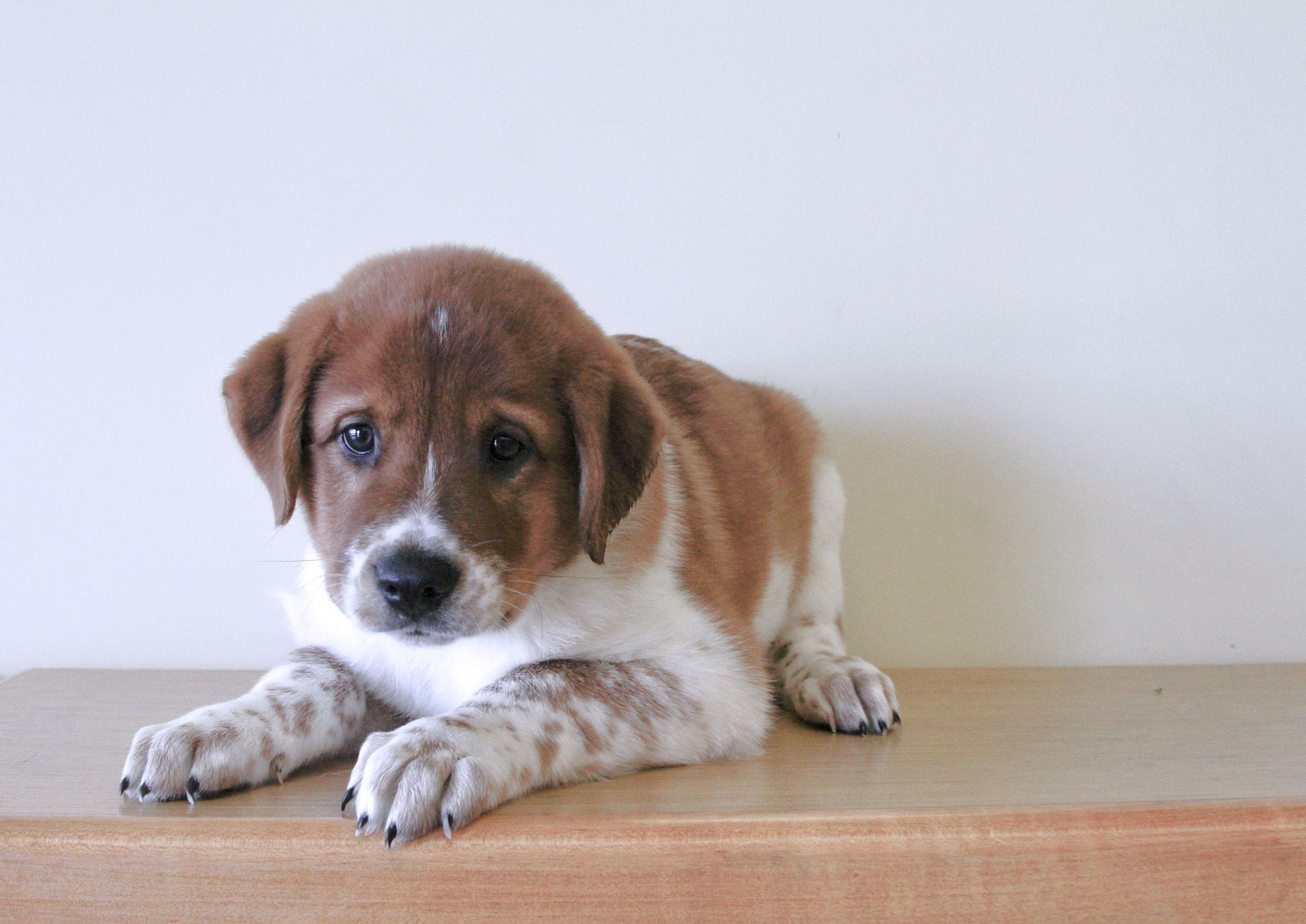 Buddy The 10 Week Old St Bernard Australian Shepherd Mix