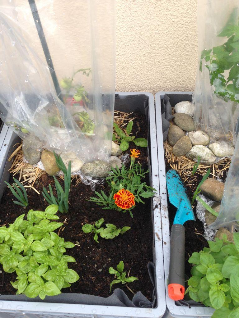 Foto: Tagetes/Studentenblume macht die Tomaten angeblich glücklich / © Der grüne Mami Blog