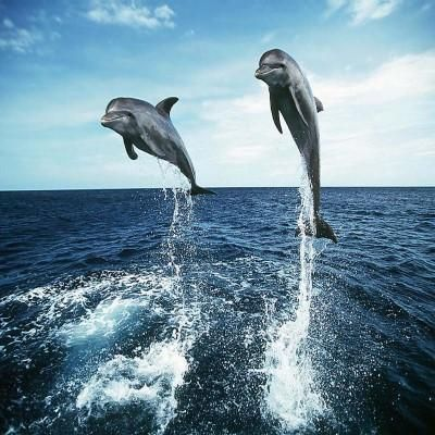 Download Now And Enjoy The Best Dolphin Live Wallpaper Amp Dolphin Games Amp Video Lots Of High Quality Graphics Beautifu Dolphin Images Dolphins Animals Full hd dolphin wallpapers hd desktop
