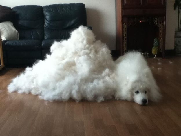 In the winter, you can always make a coat out of their excess hair. | Undeniable Proof That Samoyeds Are Irresistible Dogs