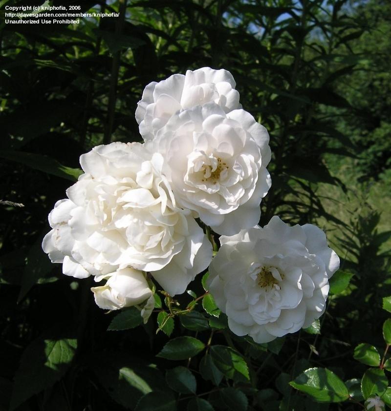Polyantha Rose Floribunda Heirloom Rose Little White Pet Rosa Already At Shine Heirloom Roses Rose Beautiful Roses