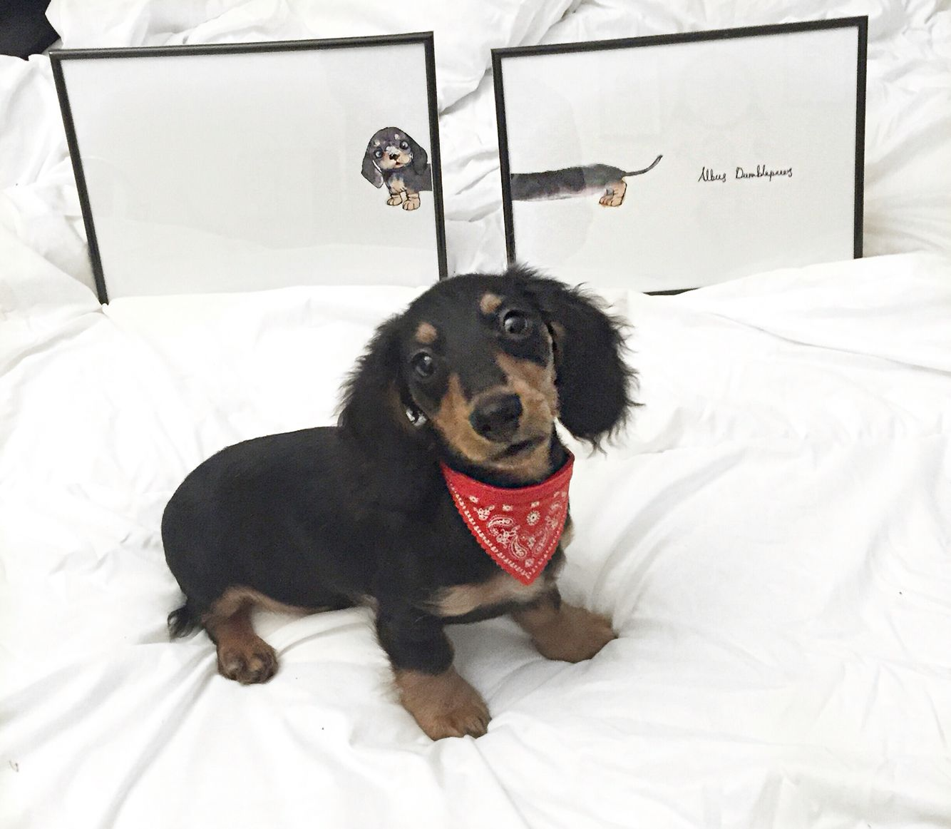 Long Haired Miniature Dachshund Puppy Albusdumblepaws Dachshund