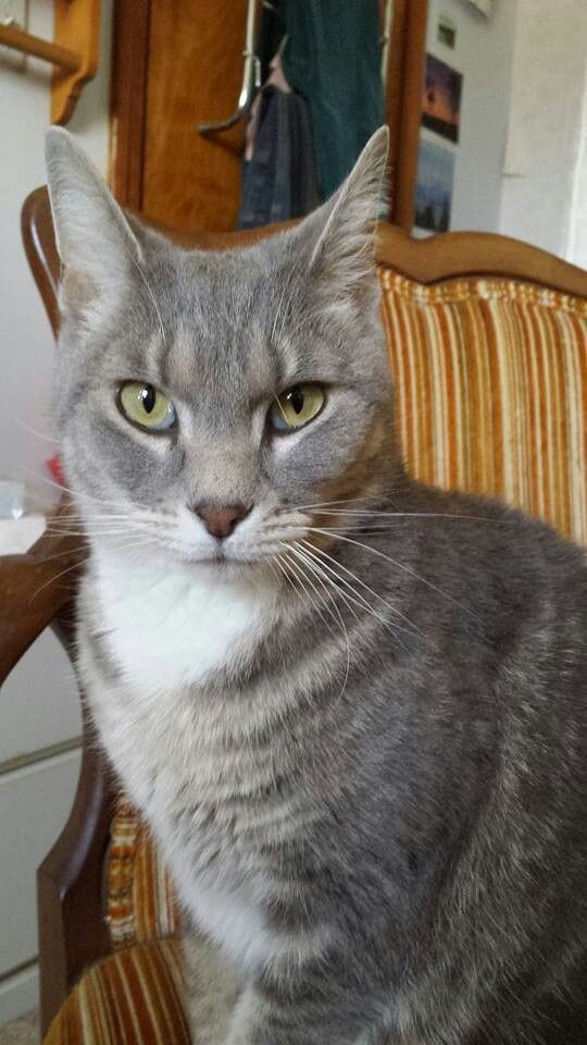 Ms Smokie This is a beautiful, sweet and loving cat! She\'s okay with ...