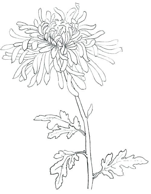 Chrysanthemum Flower Drawing Simple Line Drawings Of Flowers A Simple Flower Drawing Or Chrysanthemum For Flower Line Drawings Line Art Drawings Flower Drawing