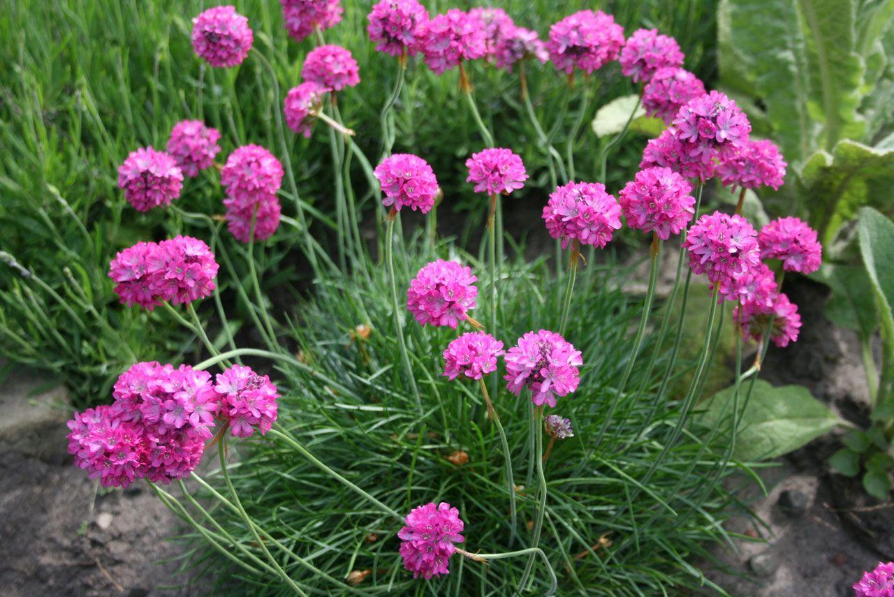 Sea Pink Armeria Sp Perennial Flower Images Pinterest
