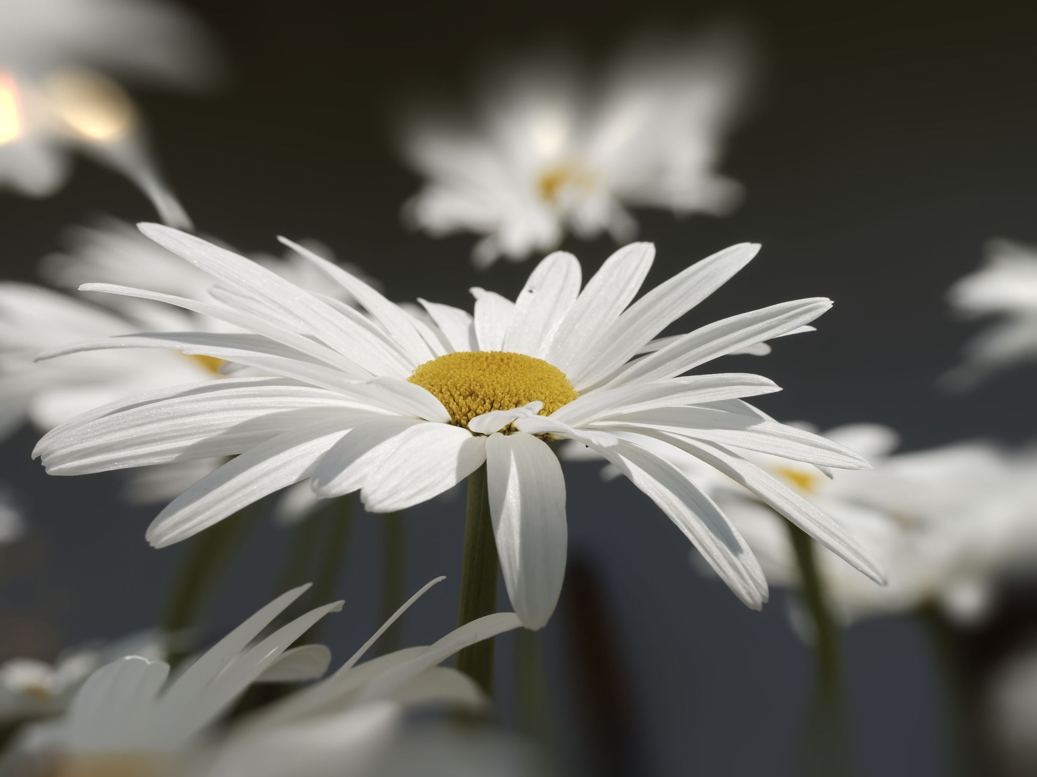 What the petals would say. - Daisy. Beautiful lady in white dress