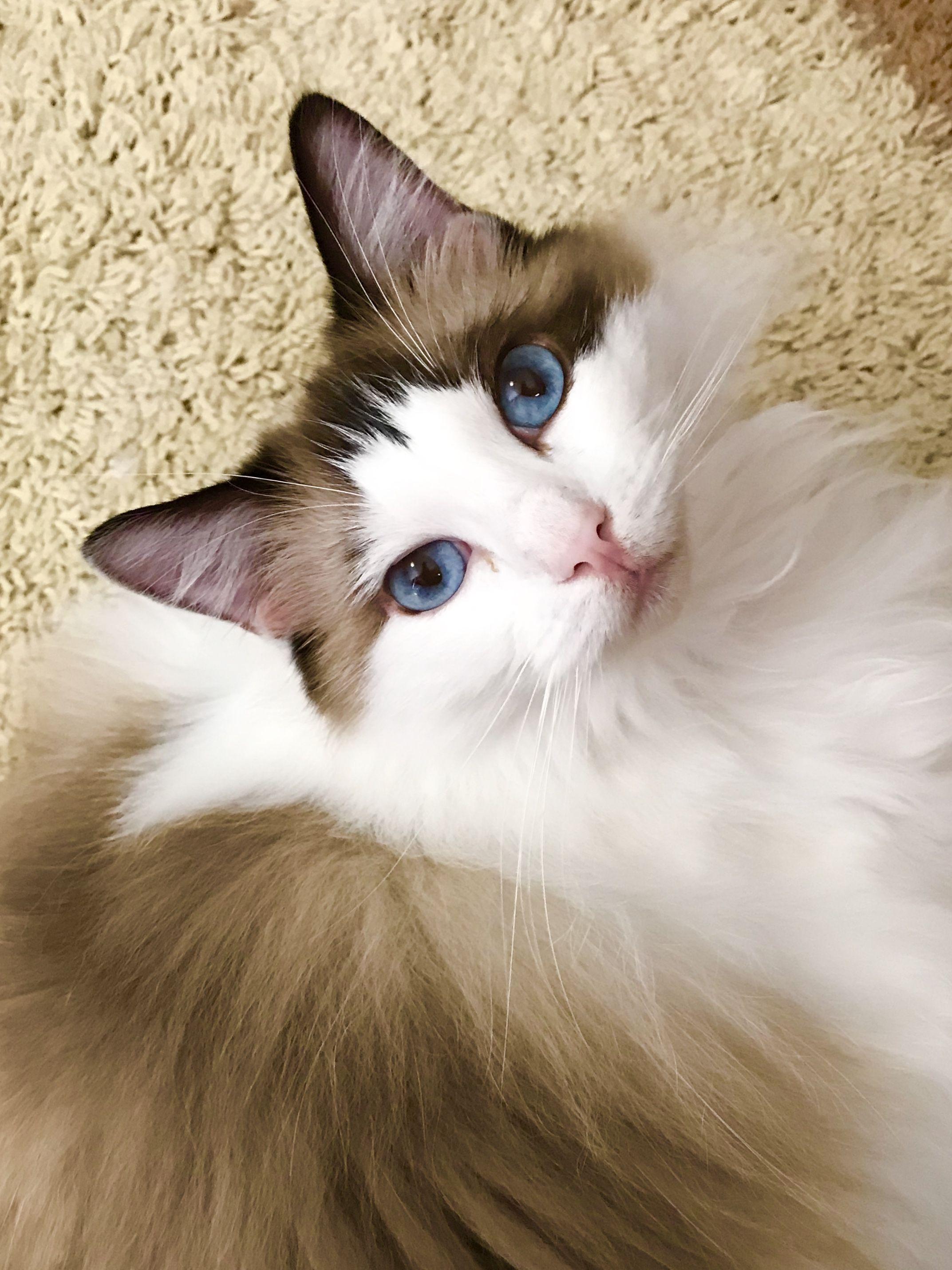 Ragdoll Cats Facts Katzenbabys Tiere Katzen