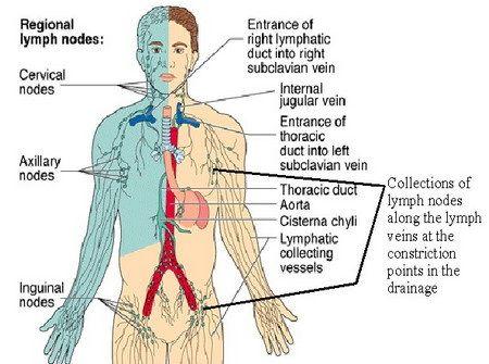lymph drainage map lymphatic my lymph node transplant   News to Go 4 ...