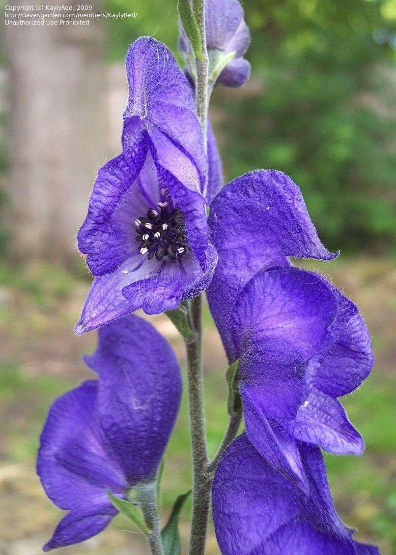 Description Aconite Is An Herbaceous Perennial Plant With Fleshy Root Which Grows To A Height Of 1 M Its L Flowers Perennials Blue And Purple Flowers Flowers