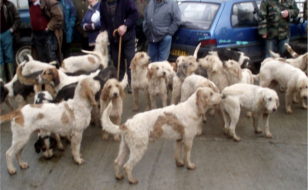 Welsh foxhounds