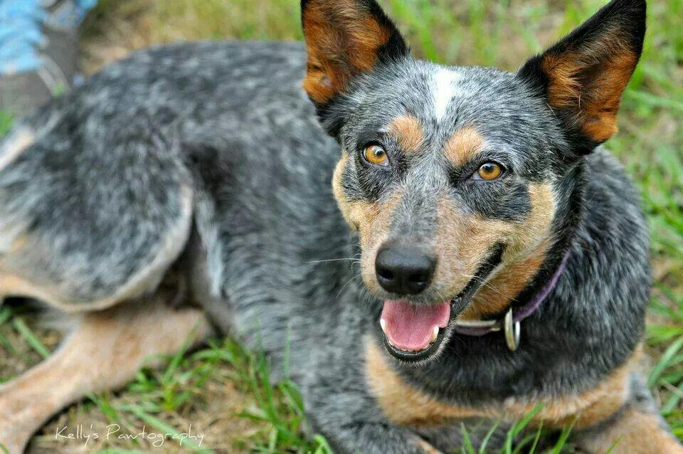 Beautiful Little Girl Named Willow Cattle Dogs Rule Australian Cattle Dog Blue Heeler Cattle Dog