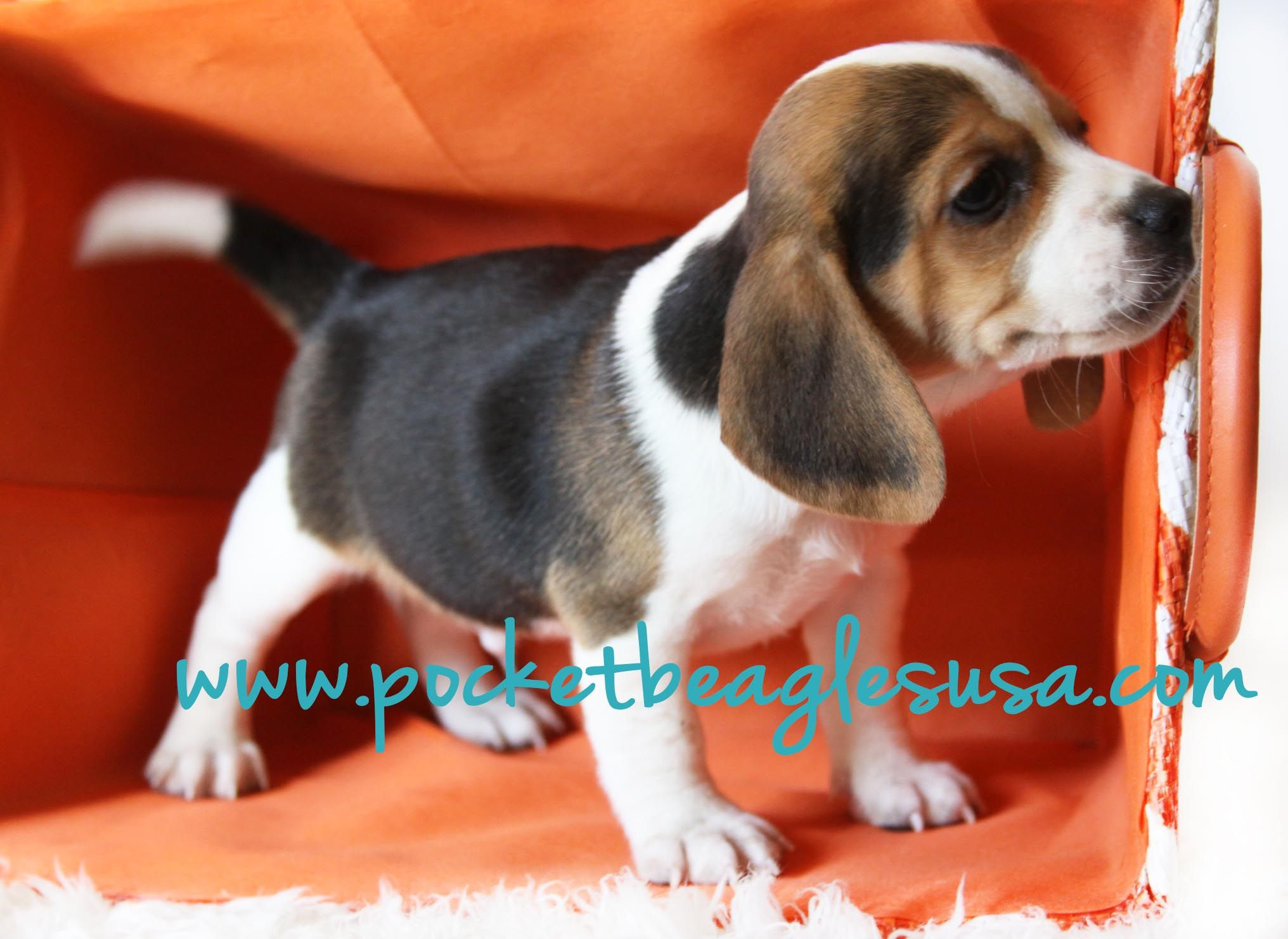 Amazing Puppy From Pocket Beagles Usa Com Pocket Beagle Small Dog