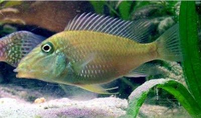 Geophagus Jurupari Max Size 25cm Tropical Fish Fish Aquarium