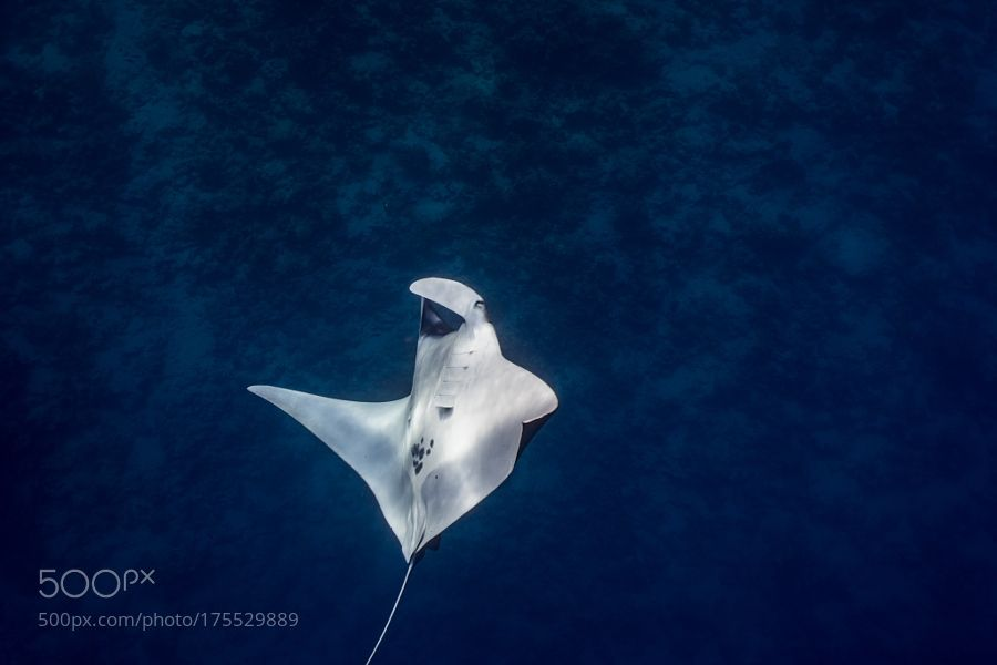 giant manta flying by pierluigileggeri100