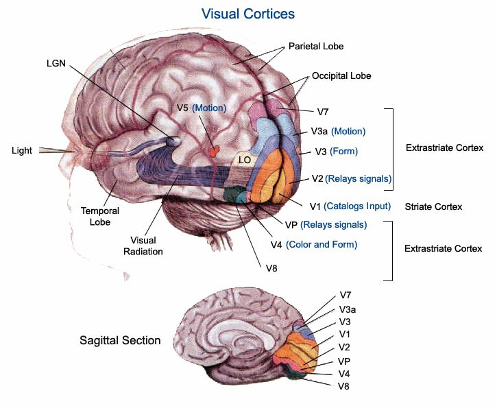Vision V Areas Medical Figures Pinterest Visual
