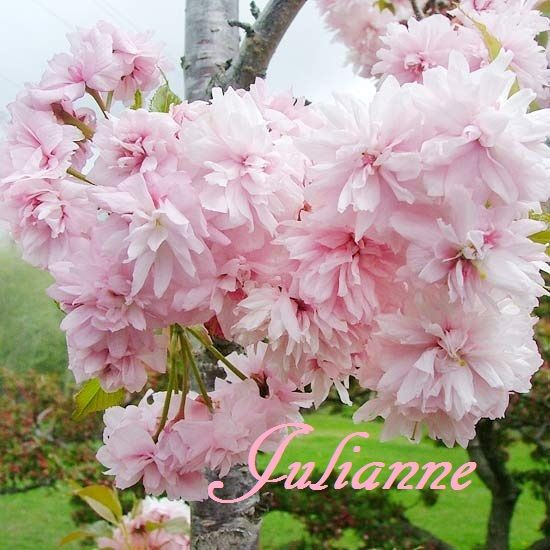 Pin By Bard Au On Girl Names Weeping Cherry Tree Pink Flowers Beautiful Flowers