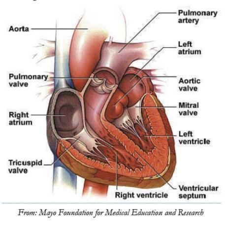 If I could draw I\'d use the chordae tendineae as the strings for a ...