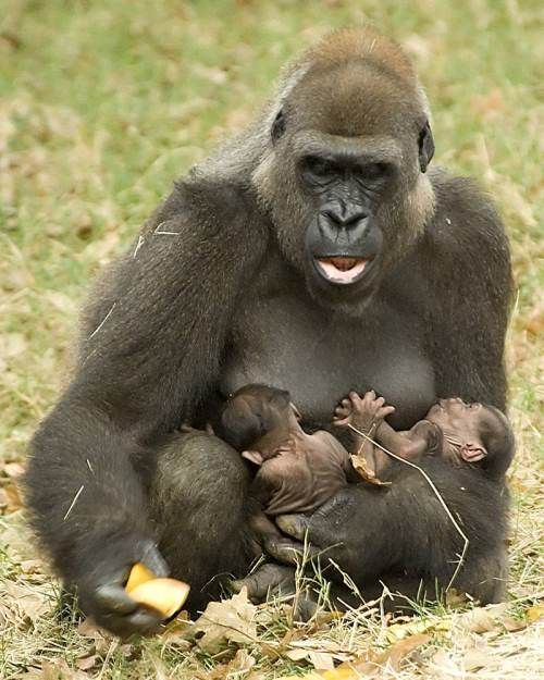 gorillas with babies | gorilla with baby tags babies baby gorillas funny pictures gorilla ...