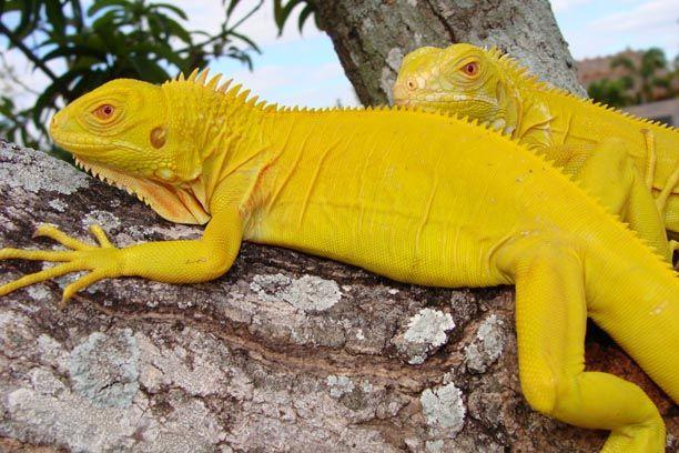 Juvenile Albino Iguana