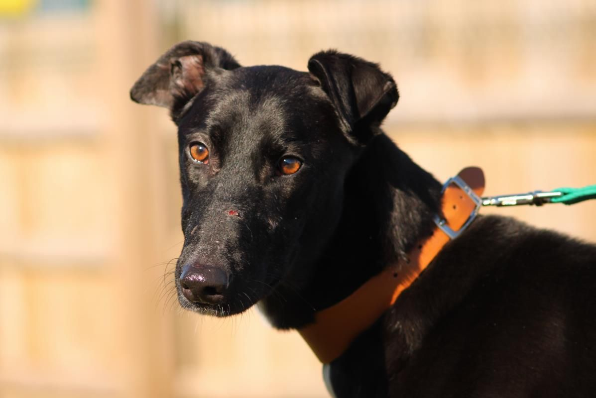 Adopt a dog scooby lurcher dogs trust dogs dog