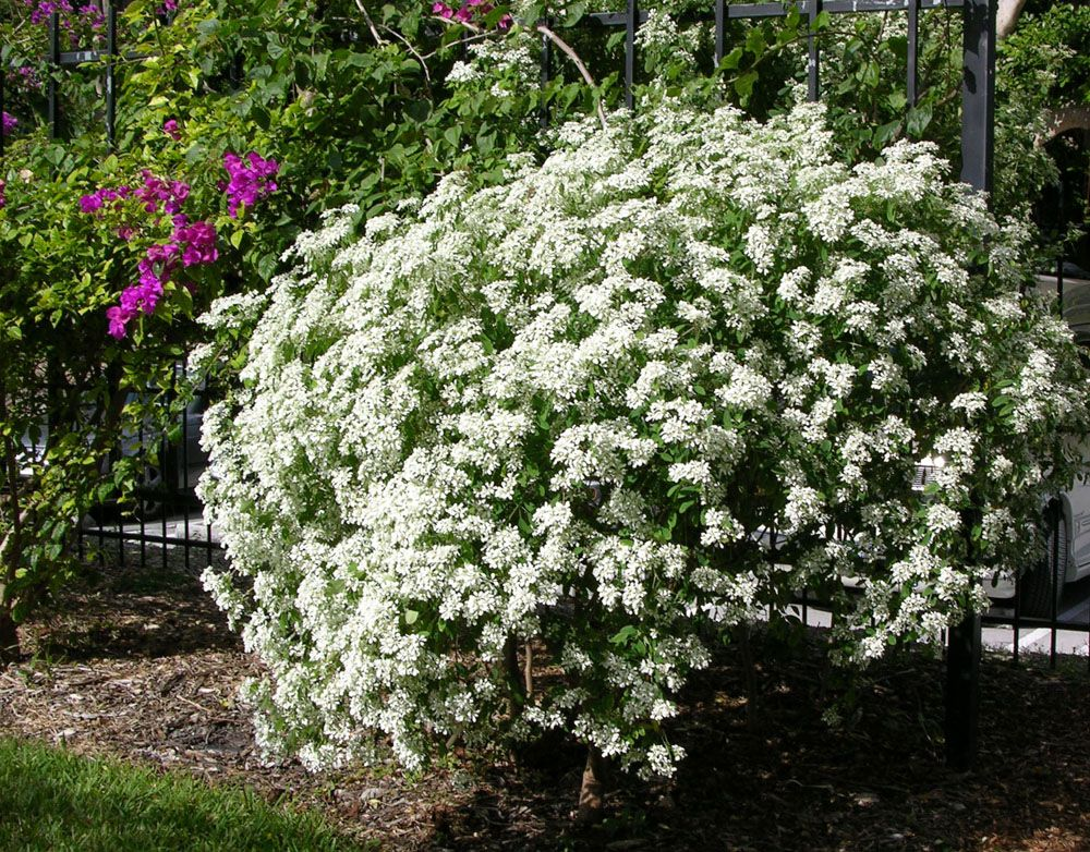 Image of beautiful large flowering bushes exteriors pinterest image of beautiful large flowering bushes mightylinksfo Images