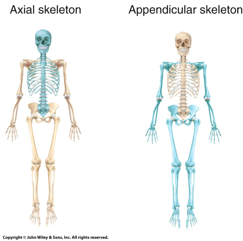 appendicular skeleton and axial - Google Search | Anatomia | Pinterest