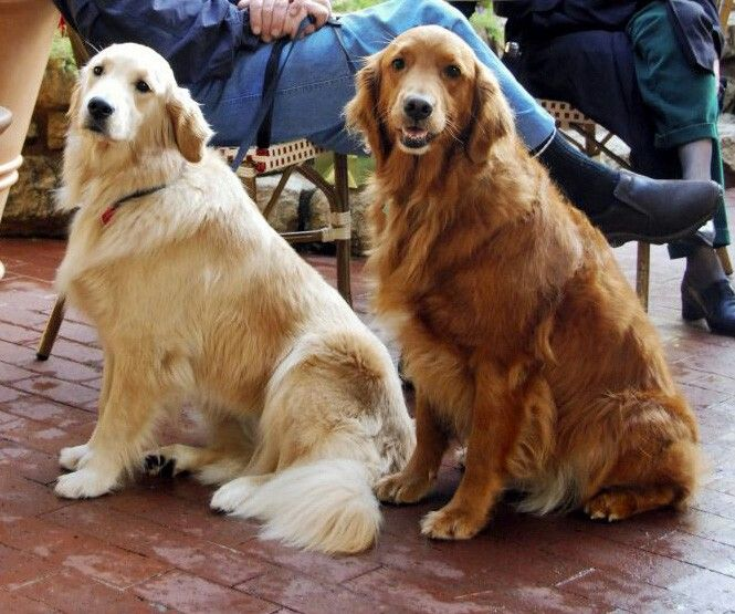 They Are Getting Married Lol Dark Golden Retriever