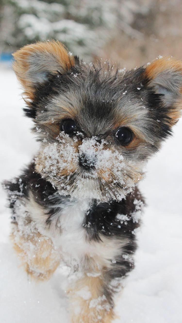 Yorkshireterrier Puppy Wallpaper Cute Puppy Wallpaper Yorkie Puppy