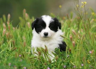 Border Collie Puppy Pictures Con Imagenes Cachorros Collie Cachorros Border Collie Perro Collie