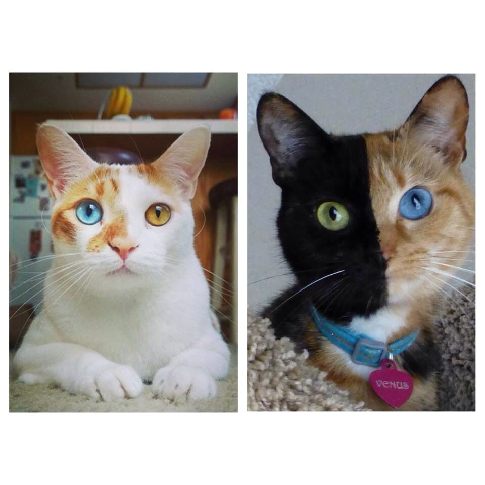 Venus Being Compared To A Kitty With Heterochromia Iridum Beautiful Cats Cats Animals