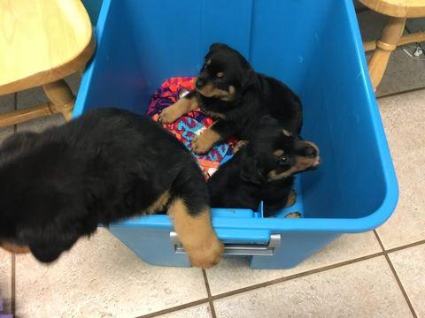 Rottweiler Puppy For Sale In Port Saint Lucie Fl Adn 27767 On