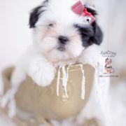 Maltese Shih Tzu Malshi Puppies #cuteteacuppuppies Morkie Puppies and Designer Breed Puppies For Sale by TeaCups Puppies | Teacups, Puppies & Boutique - Part 5 #cuteteacuppuppies