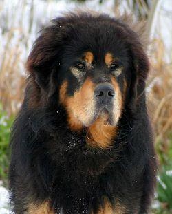 black and tan tibetan mastiff - Google Search | Dogs ...