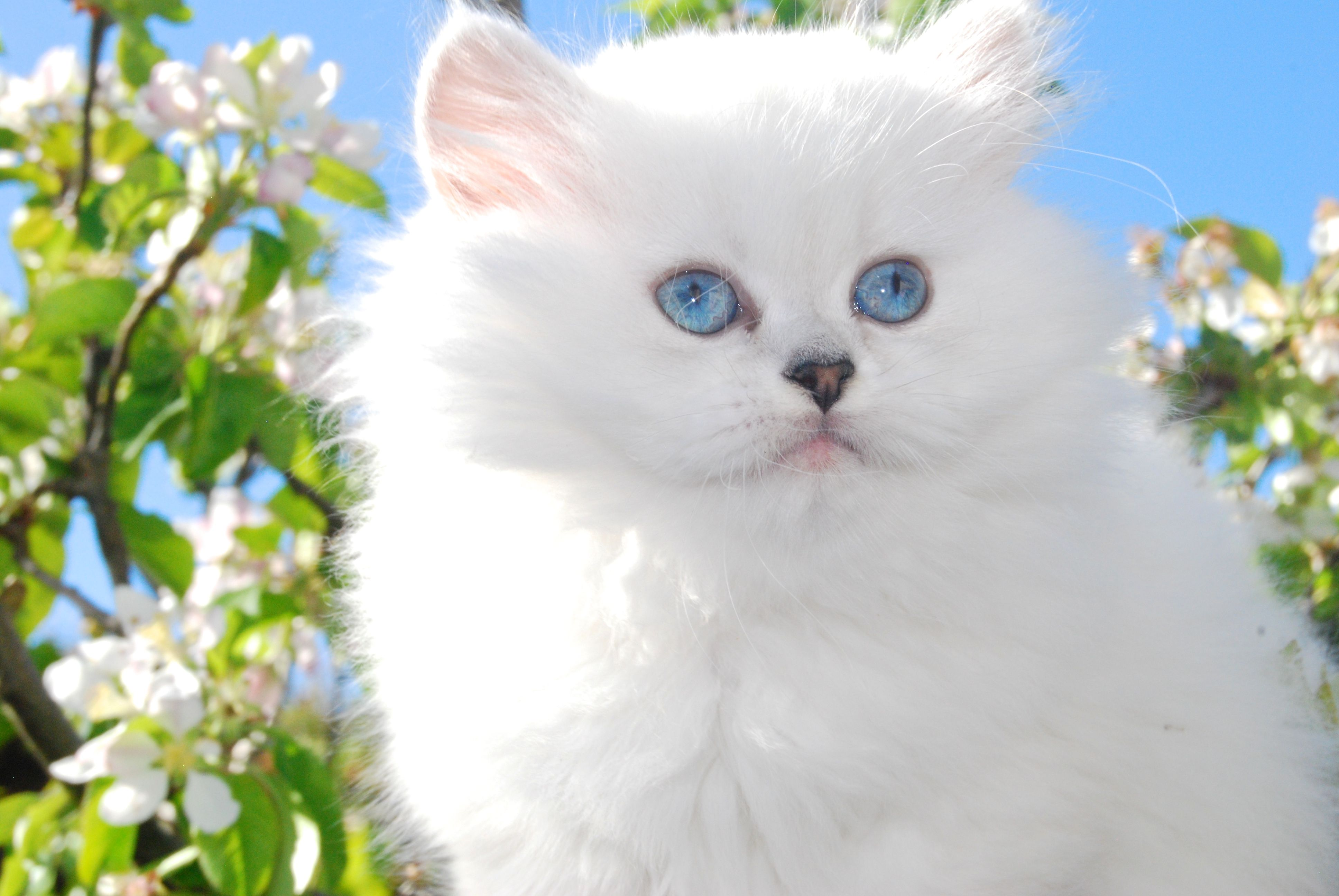 Belle Ayr Snow Lily Our Silver Shaded Pointed British Longhair Ns1133 Blh Kitten For Sale British Shorthair Cats Ayr