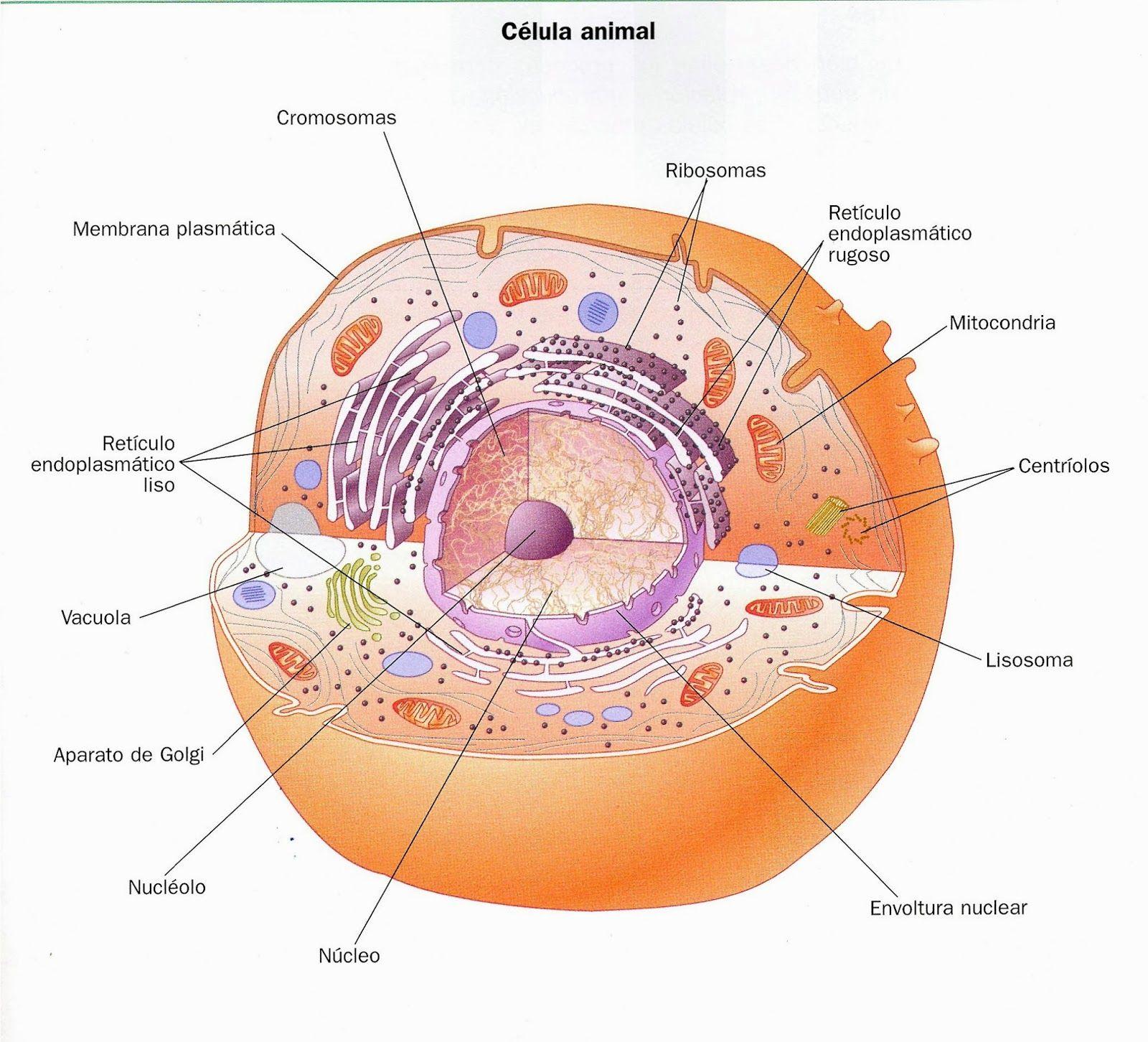 Celularízate Estructura De Las Células Eucariota Y