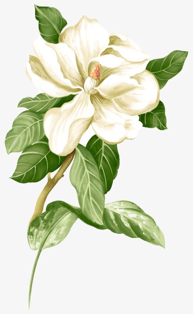 Painted White Jasmine Picture Material Watercolor Flowers Paintings Botanical Flowers Digital Flowers