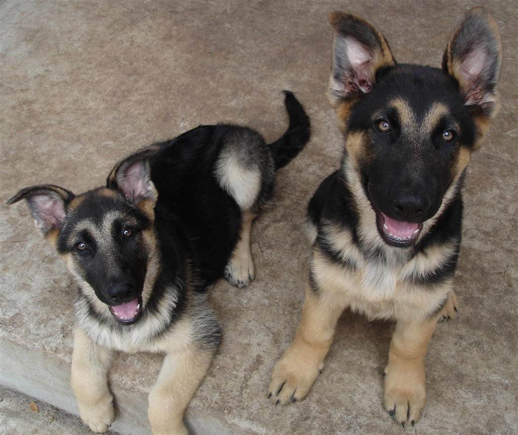 German Shepherds German Shepherd Puppies German Shepherd Dogs