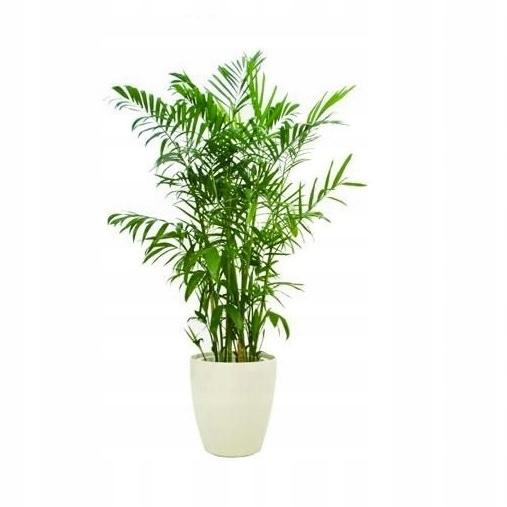 Chamaedorea Elegans Zywo Zielona Palma Rozmiar L Palma Plants