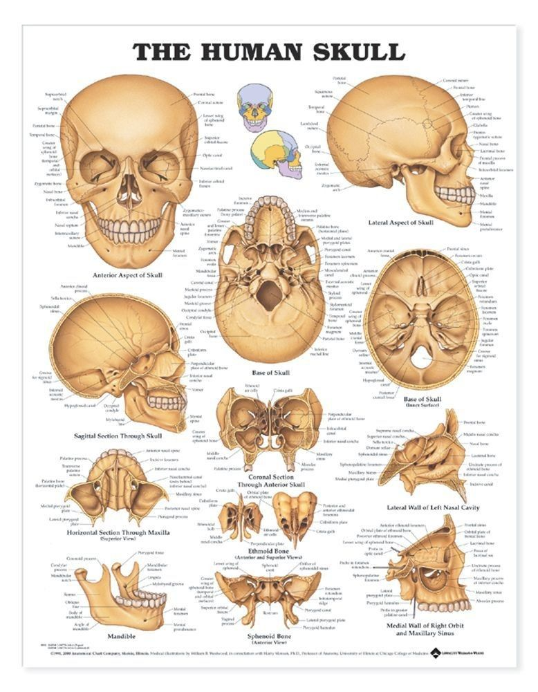The Human Skull Anatomical Chart   nursing/medical   Pinterest ...