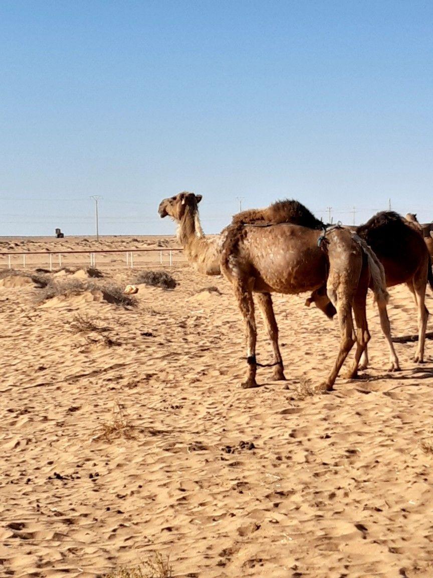Camels of the Sahara desert, Tan Tan.