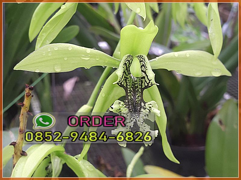 Jual Anggrek Dendrobium Ke Muna Sulawesi Hub Wa 0852 9484 6826 Anggrek Tanaman Mekar