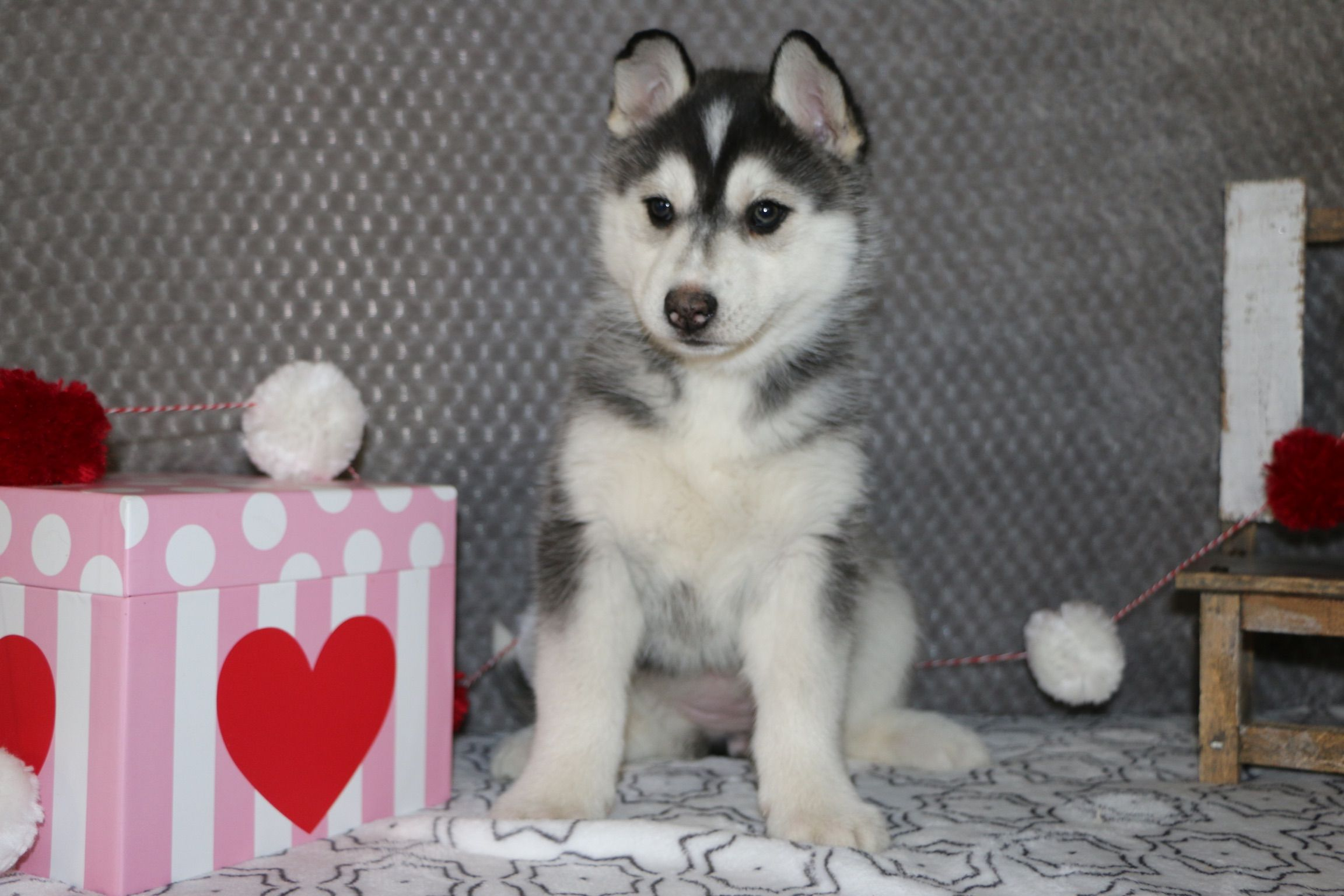 Tasha A Female Akc Siberian Husky Puppy For Sale In Bremen