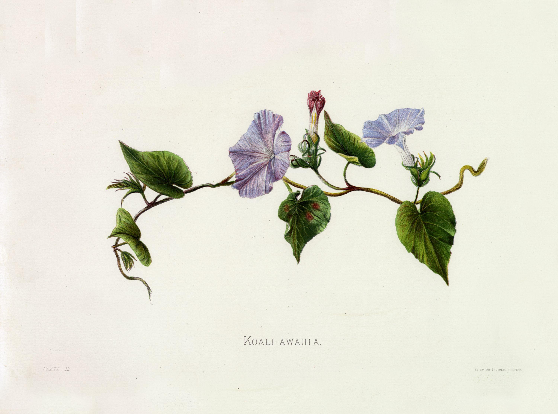 Ipomoea indica burm merr as ipomoea insularis choisy steudel as ipomoea insularis choisy steudel blue dawn flower morning glory sinclair i indigenous flowers of the hawaiian islands t izmirmasajfo Choice Image