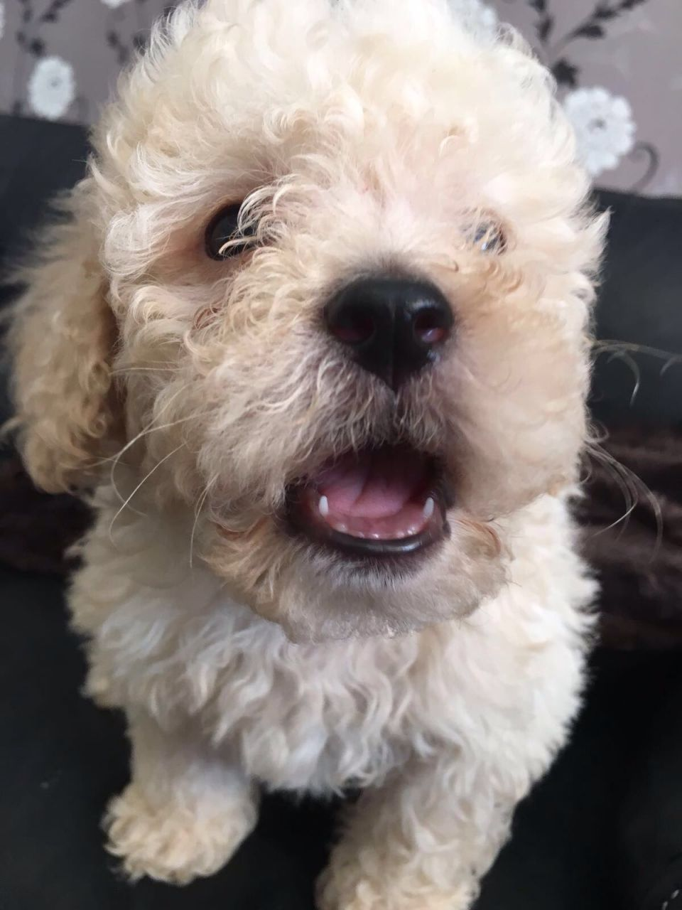 Toy Poodle Boys Poodle Toy Poodles For Sale Dogs